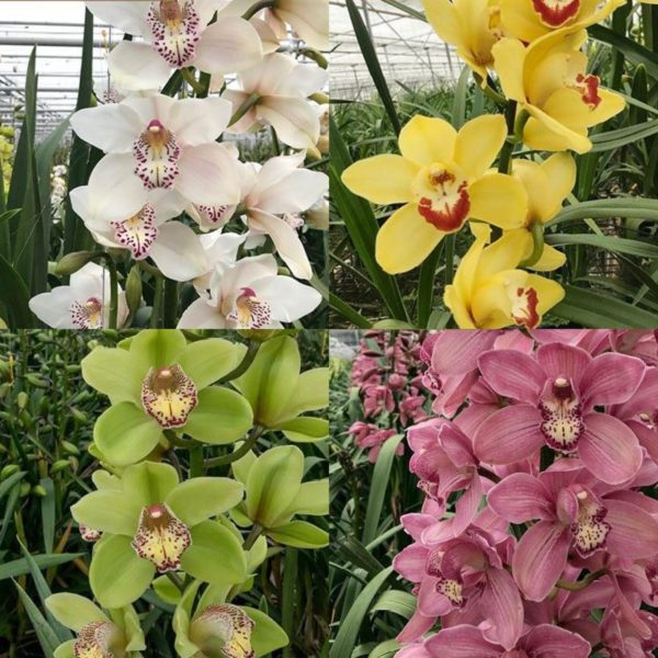 Cymbidium Mix