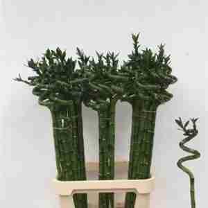 Bambú Espiral