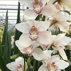 Cymbidium Blanco
