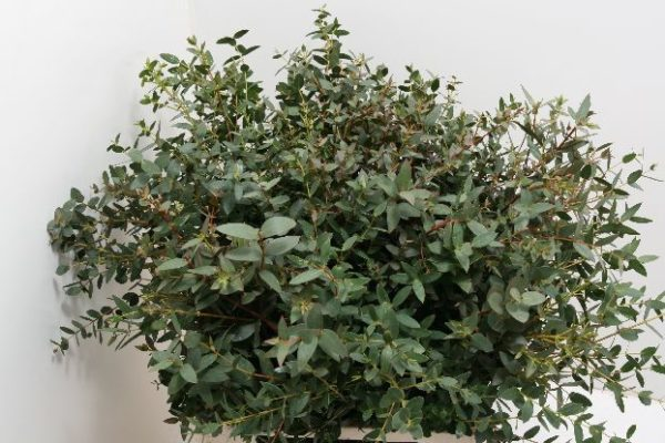 Eucalipto Parvifolia
