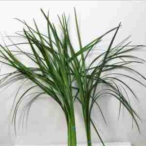 Lilygrass