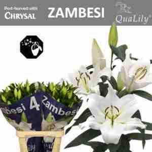 Oriental Zambessi