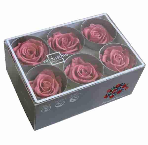 Rosa Standard Cherry Blossom