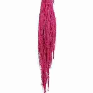 Amaranthus Fucsia