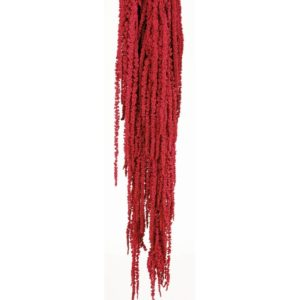 Amaranthus Rojo