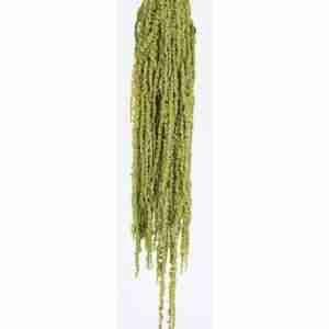 Amaranthus Verde