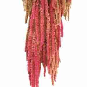 Amaranthus Rosa y Crema