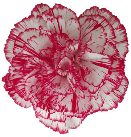 Clavel Bicolor Rojo