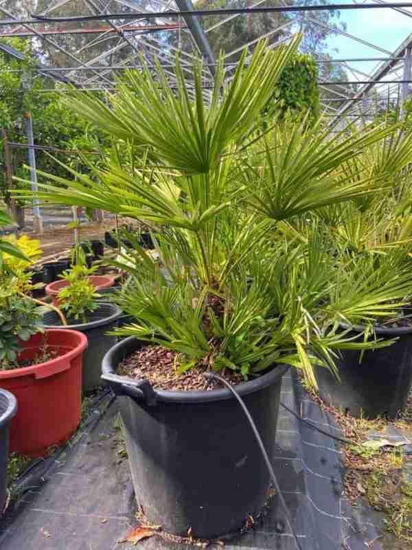 Chamaerops Humilis 100cm