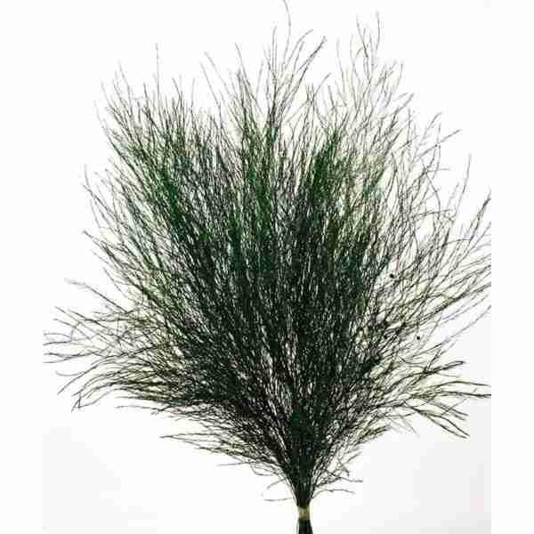 Treefern Preservado