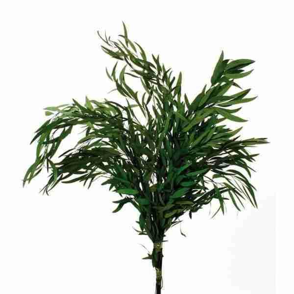 Eucalipto Nicholii Verde