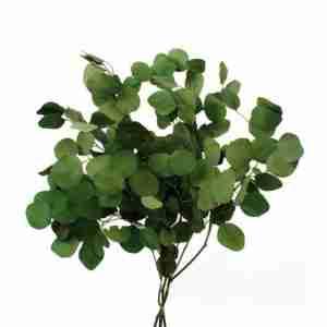 Eucalipto Populus Verde