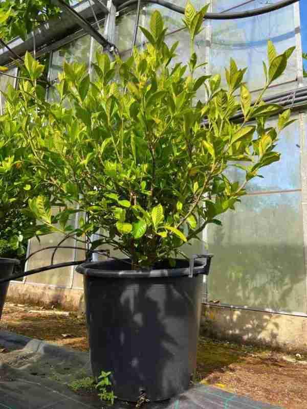 Gardenia Fortunei 110cm