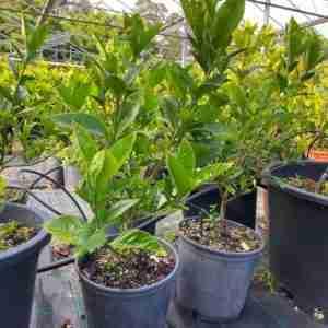 Gardenia Fortunei 60cm