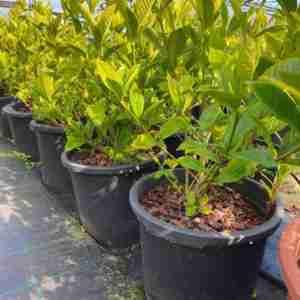 Gardenia Fortunei 70cm