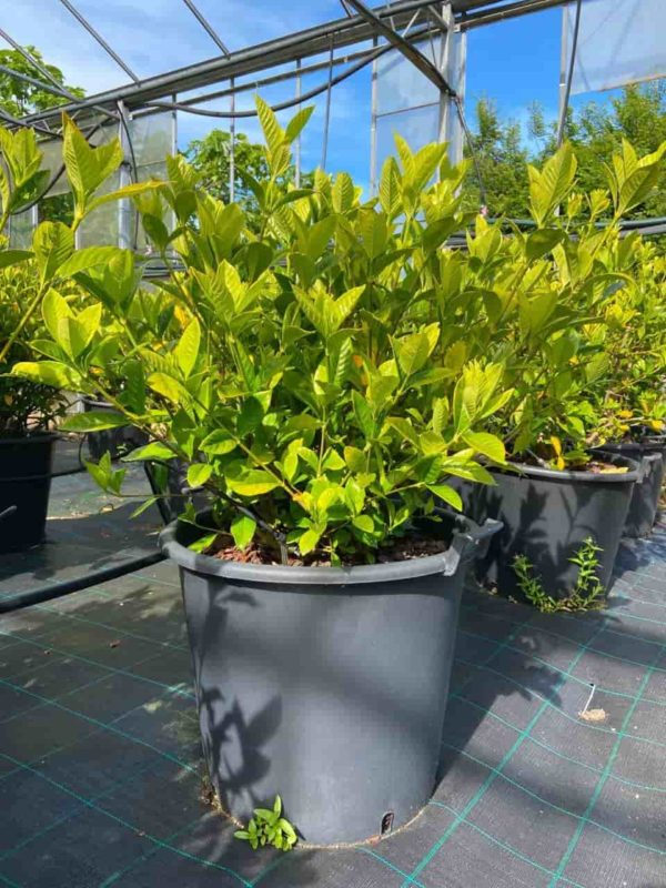 Gardenia Fortunei 90cm