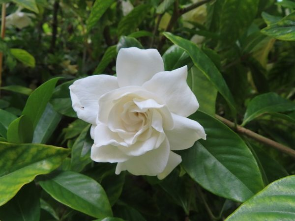 Flor de Gardenia