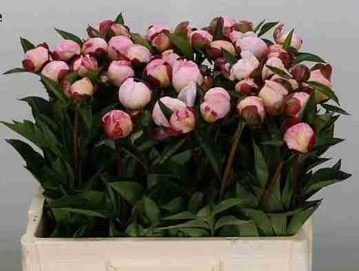 Peonía Gardenia