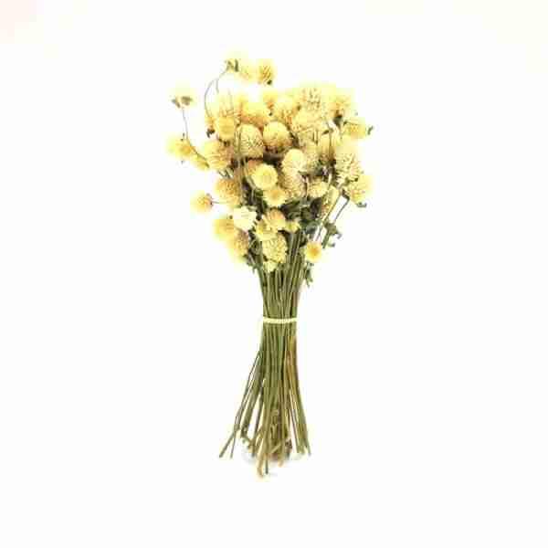 Gomphrena Blanca