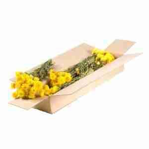 Helichrysum Amarillo