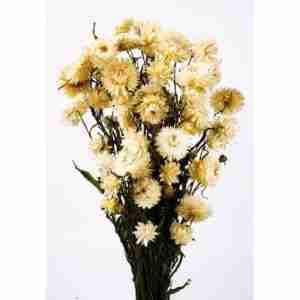 Helichrysum Blanco