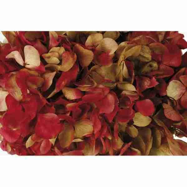 Hortensia Bicolor Crema