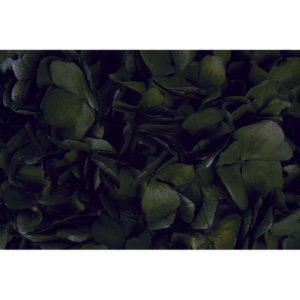 Hortensia Negra