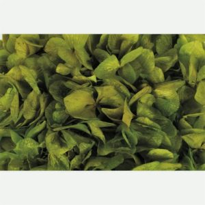 Hortensia Verde Claro
