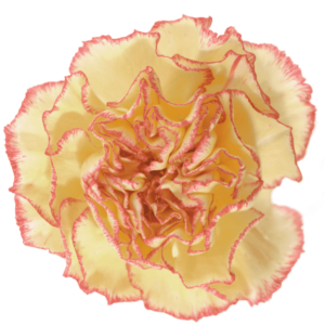 Clavel Bicolor Amarillo