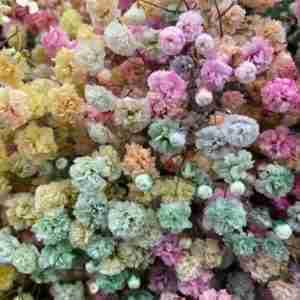 Paniculata Rainbow
