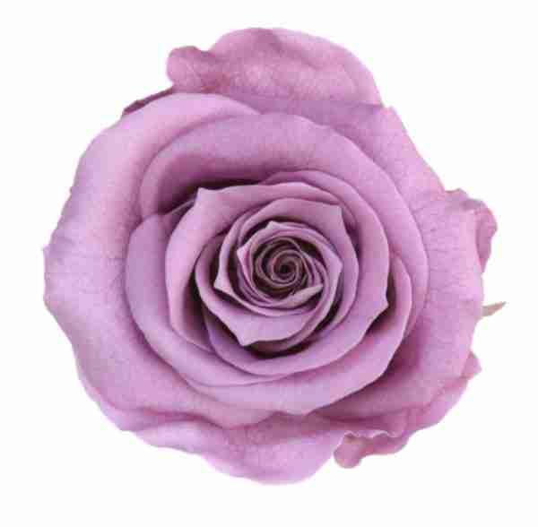 Rosa Preservada Lavanda 27cm