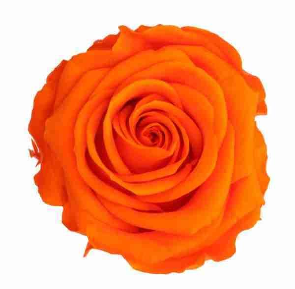 Rosa Preservada Naranja 27cm