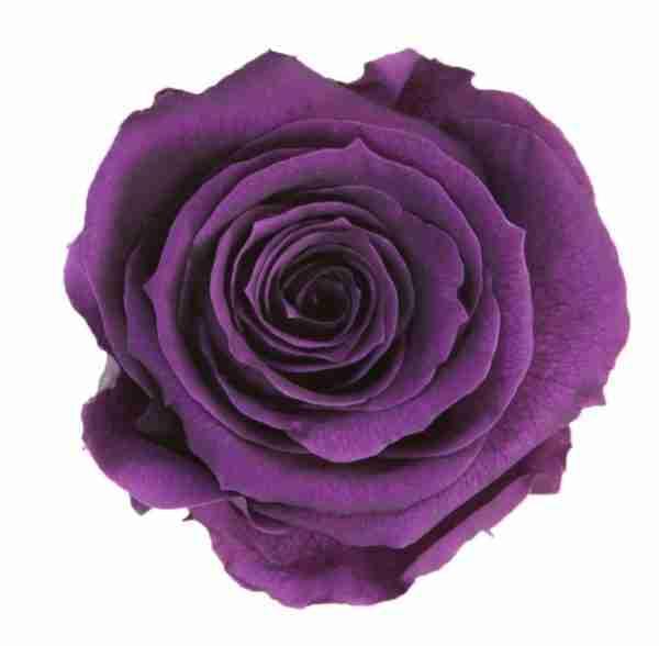 Rosa Preservada Púrpura 55cm