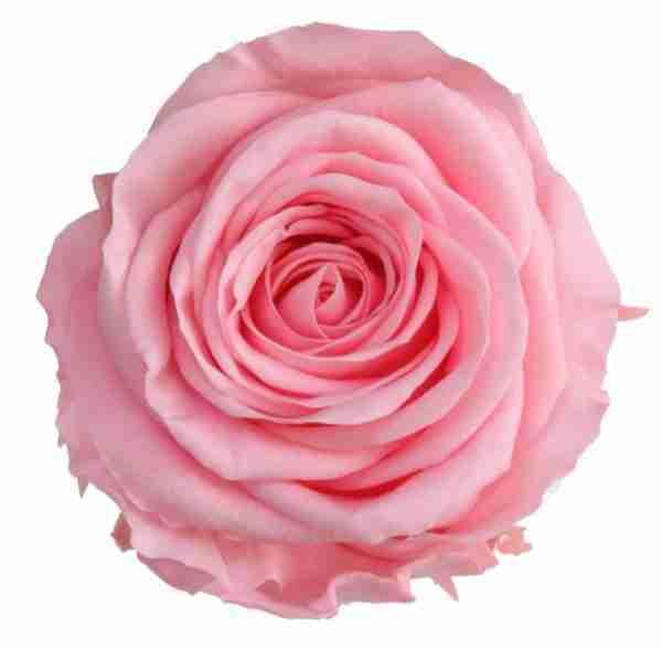 Rosa Preservada Rosa 55cm