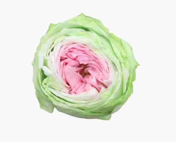 Rosa de Jardín Preservada Tricolor 27cm