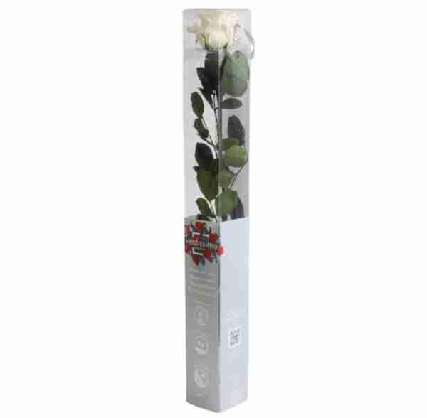 Rosa Preservada Champán 55cm