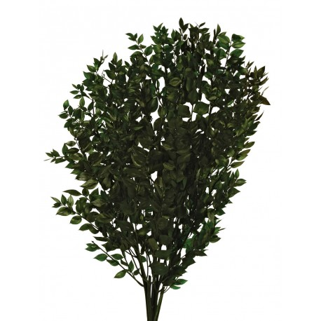 Ruscus Verde de Hoja Pequeña Preservado