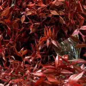 Ruscus Rojo de Hoja Pequeña Preservado