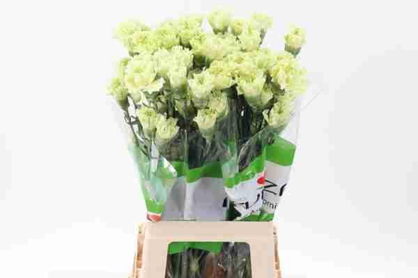 Clavel Verde