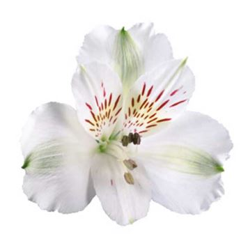 Alstroemeria Blanca