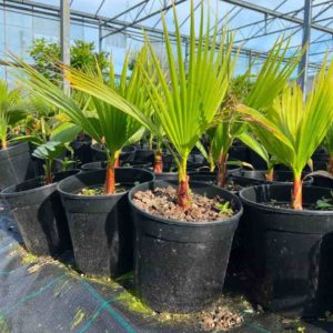 Washingtonia Filifera 40cm