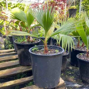 Washingtonia Filifera 50cm