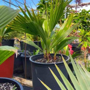 Washingtonia Filifera 70cm
