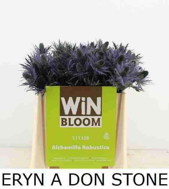 Eryngium Don Stone
