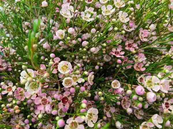 Flor de Cera Rosa