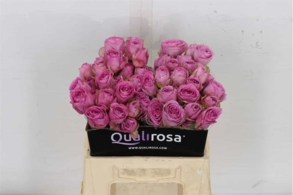 Rosa Spray Lavender Lace