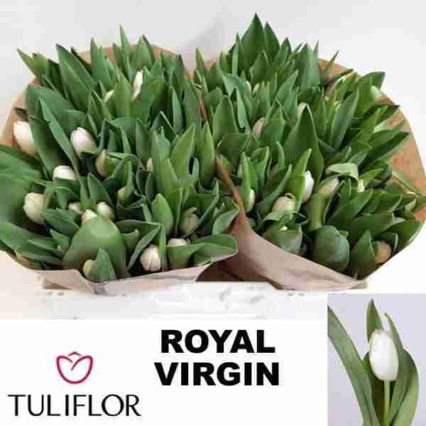 Tulipán Royal Virgin