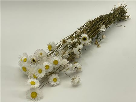 Acroclinium Blanco