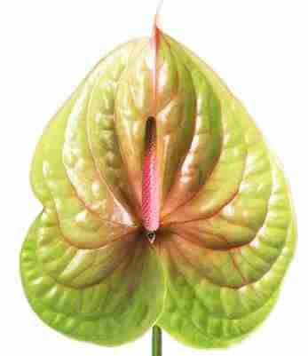 Anthurium Pistache