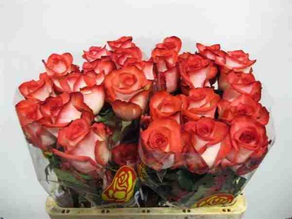 Rosa Nacional Blush